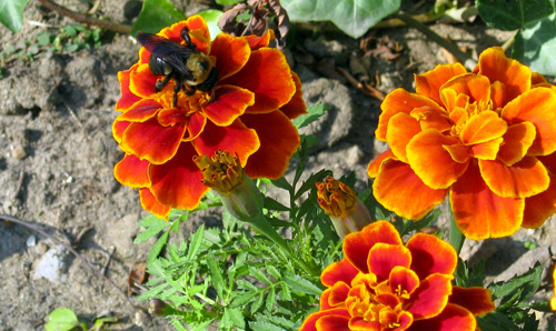 Bee landing on marigolds
